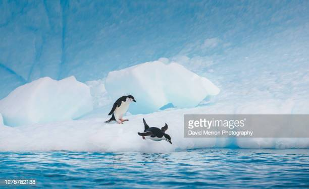 chinstrap penguins dive into the icy water surrounding antarctica - antarctic sound stock pictures, royalty-free photos & images