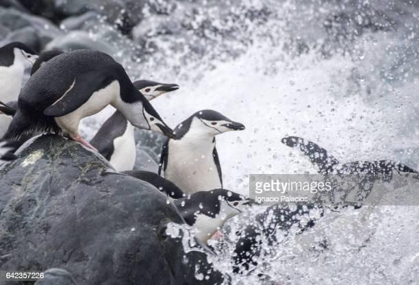 Chinstrap penguins, Half Moon, Antarctica