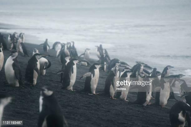 Chinstrap penguins, Half Moon Island, Antarctica