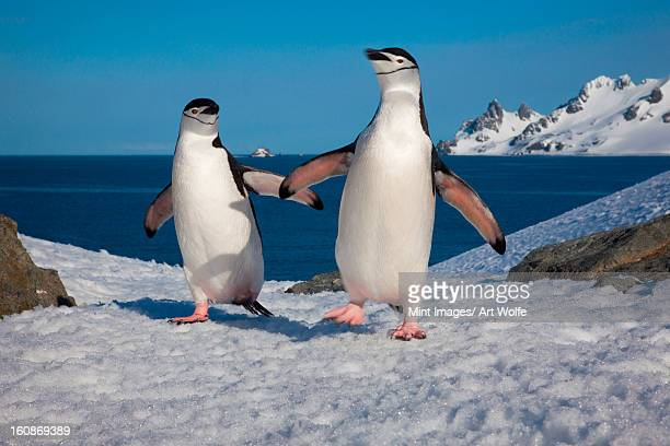 chinstrap penguins, half moon island, south shetland islands, antarctica - chinstrap penguin stock pictures, royalty-free photos & images