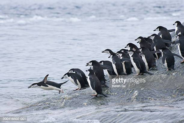 Chinstrap Penguins (Pygoscelis antarcticus) jumping into water