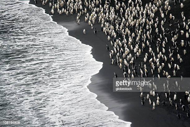 Barboquejos Pingüinos en una playa de arena negra