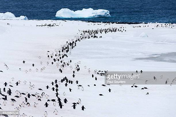 Chinstrap penguins on Deception Island, Antarctica