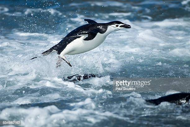 chinstrap penguins on deception island, antarctica - chinstrap penguin stock pictures, royalty-free photos & images