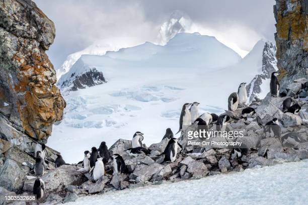 chinstrap penguins on halfmoon island - chinstrap penguin stock pictures, royalty-free photos & images
