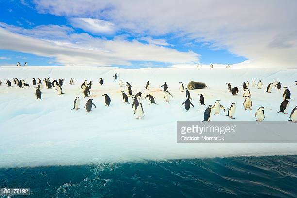 chinstrap penguins on iceberg,  antarctica - drake passage stock photos and pictures