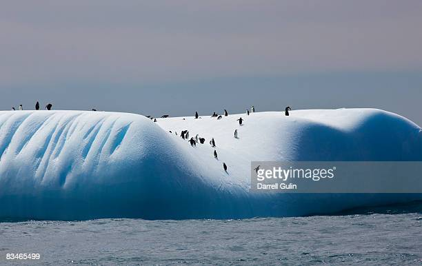 chinstrap penguins on iceberg off of coopers bay - chinstrap penguin stock pictures, royalty-free photos & images