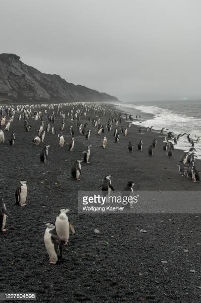 Chinstrap penguins on the black lava beach at Bailey Head on Deception Island, an island in the South Shetland Islands archipelago off the Antarctic...