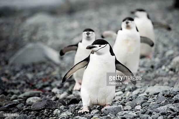 chinstrap penguins on the march - stormbandpinguïn stockfoto's en -beelden