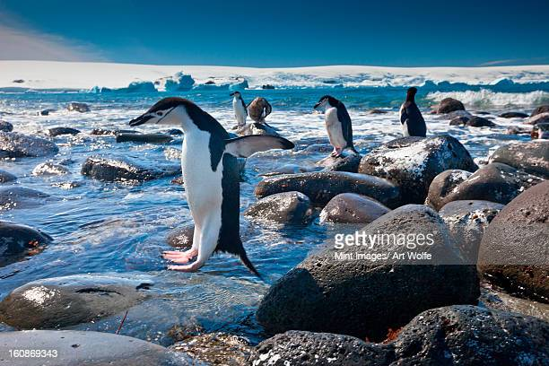 chinstrap penguins, penguin island, antarctica - chinstrap penguin stock pictures, royalty-free photos & images