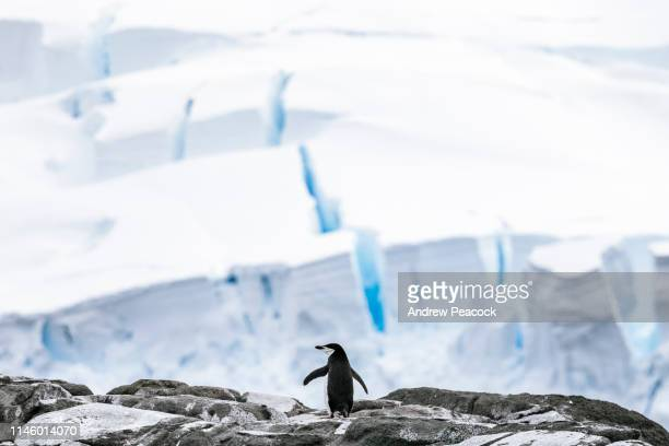 chinstrap penguins - chinstrap penguin stock pictures, royalty-free photos & images