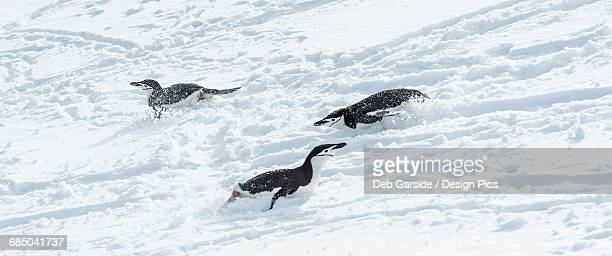 Chinstrap penguins (Pygoscelis antarctica) playing in the snow