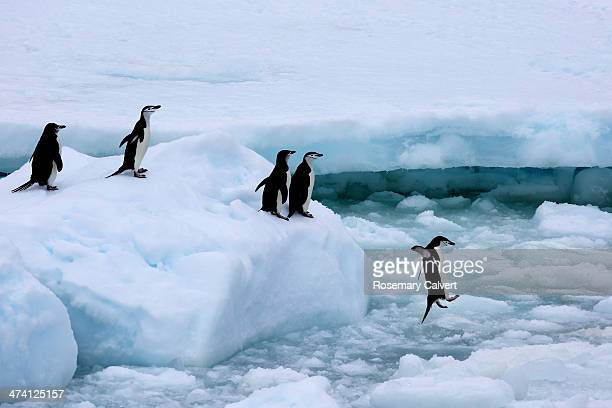 Chinstrap penguins queueing, Antarctic