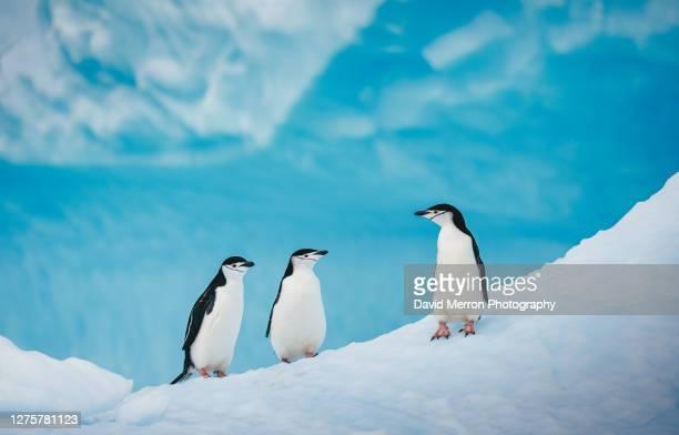 chinstrap penguins socialize on a vibrant blue iceberg in antarctica - antarctic sound foto e immagini stock