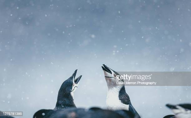 chinstrap penguins socialize with each other during a snow storm in antarctica - 南極海峡 ストックフォトと画像