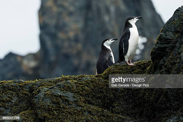 Chinstrap penguins (Pygoscelis antarctica) standing on lichen covered rocks