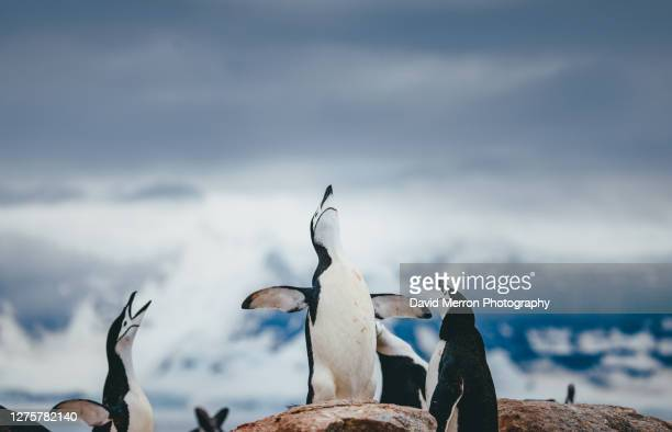 chinstrap penguins vovcalize, antarctica - chinstrap penguin stock pictures, royalty-free photos & images