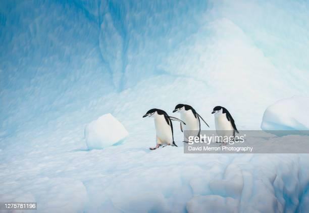 chinstrap penguins walk across a vibrant blue iceberg in antarctica - antarctic sound foto e immagini stock