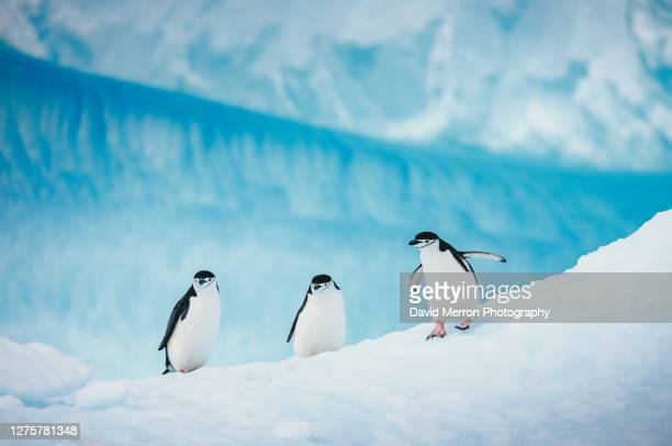 chinstrap penguins walk across a vibrant blue iceberg in antarctica - chinstrap penguin stock pictures, royalty-free photos & images