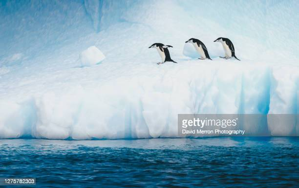 chinstrap penguins walk along a vibrant blue iceberg, antarctica - antarctic sound stock pictures, royalty-free photos & images