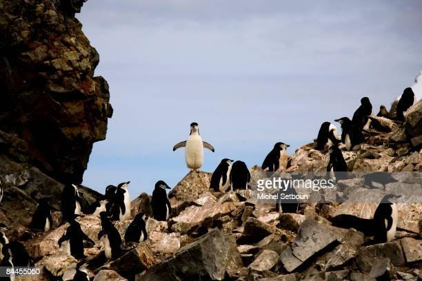 Chinstrap Penguins walk on the stone beach of Half Moon Island, a minor subantarctic island, lying about 120 kilometres north of the Antarctic...