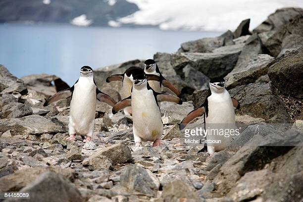 Chinstrap Penguins walk on the stone beach of Half Moon Island, a minor subantarctic island, lying about 120 kilometres north of the Antarctic...