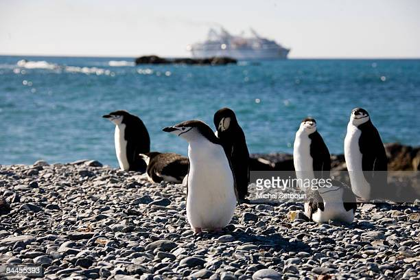 Chinstrap Penguins walk on the stone beach of Robert PointRobert IslandSouth Shetland Islands just west of the Antarctic Peninsula during a voyage to...