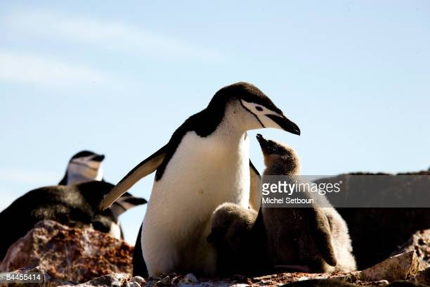 Chinstrap Penguins walk on the stone beach of Robert Point,Robert Island,South Shetland Islands, just west of the Antarctic Peninsula during a voyage...