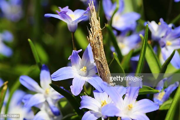 chionodoxa forbesii, glory of the snow - early spring flower - pejft stock pictures, royalty-free photos & images