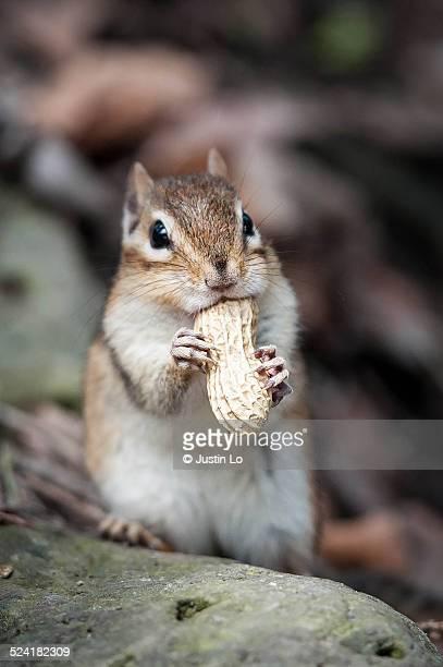 Chipmunk and peanut