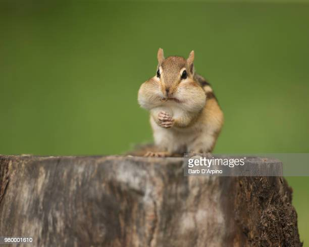 A chipmunk eating on a tree stump.