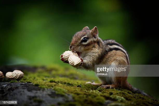 Chipmunk Eating Peanuts in Forest