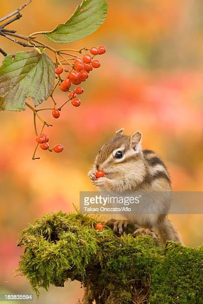 Chipmunk eating red berries