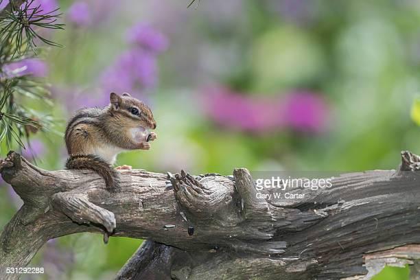 Chipmunk eating seed on log. Flowers behind.