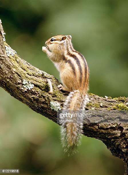 Chipmunk in a tree, Hokkaido, Japan