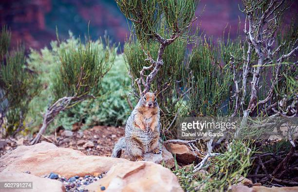 Chipmunk in Grand Canyon National Park, Arizona, USA