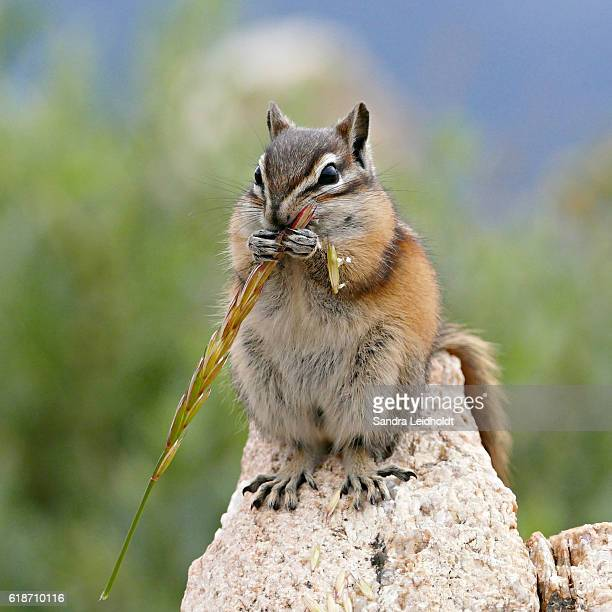 Chipmunk in the Rocky Mountains of Colorado