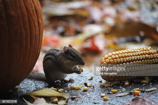chipmunk munching on corn kernels - indian corn stock photos and pictures