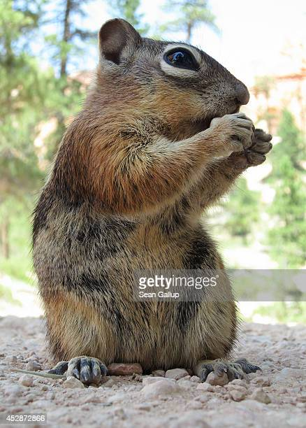 A chipmunk nibbles on food in Bryce Canyon on July 17 2014 in Bryce Canyon National Park Utah Southern Utah is a popular tourist destination