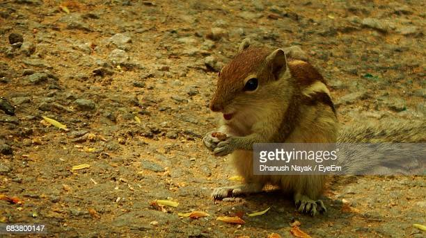 Chipmunk On Field