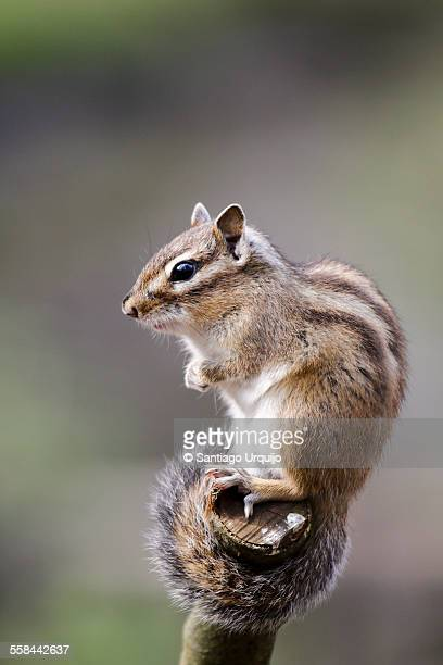 Chipmunk on top of a trunk
