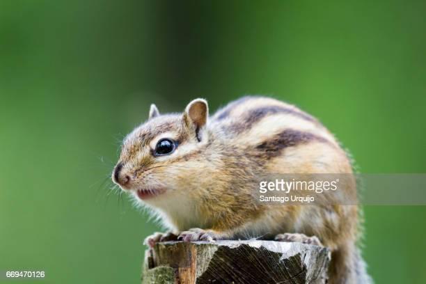 Chipmunk (Tamias sp) or Korean squirrel