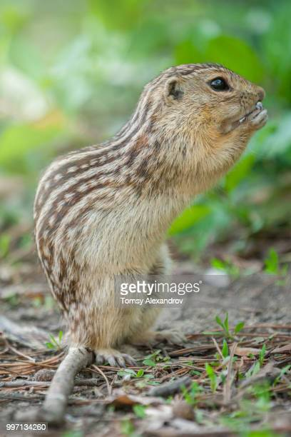 chipmunk - pika stock pictures, royalty-free photos & images