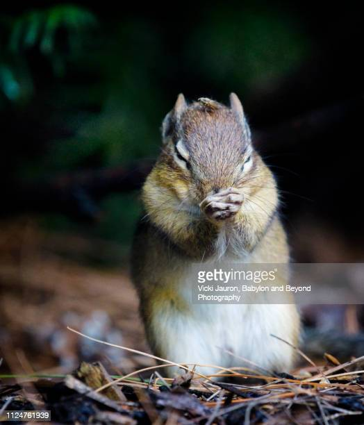chipmunk praying to get an insect off his head at ny botanical gardens in the bronx - foot worship stock pictures, royalty-free photos & images