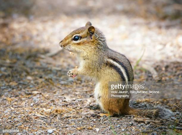 Chipmunk Profile at Elizabeth Morton Wildlife Preserve