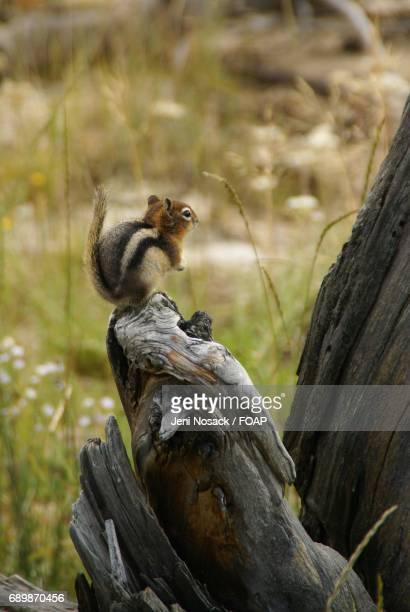 Chipmunk sitting on tree