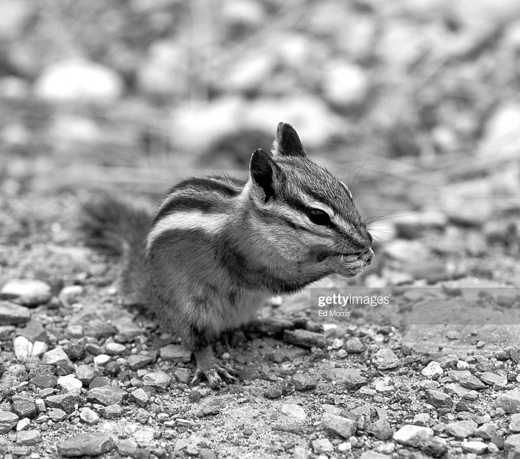 Chipmunk sitting upright and eating nut : Stock Photo