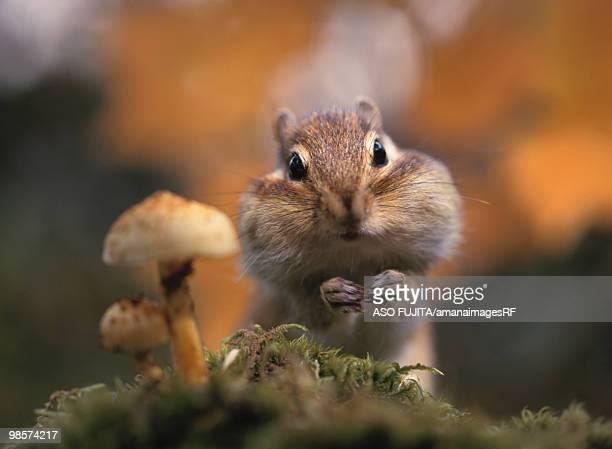 Chipmunk with swollen cheeks
