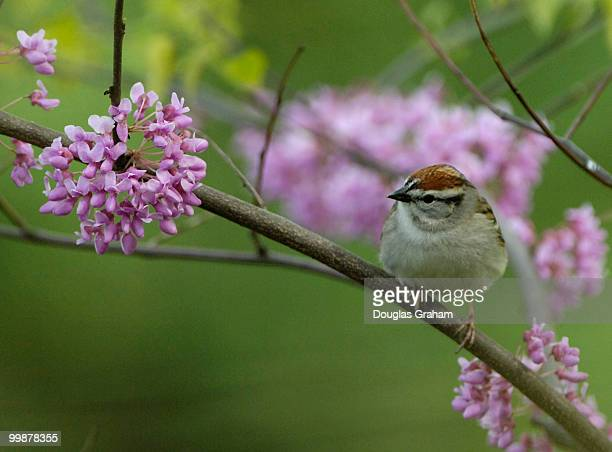 A chipping sparrow sits among the eastern redbud blooms at the Kenilworth Aquatic Gardens The gardens are the only National Park Service site devoted...