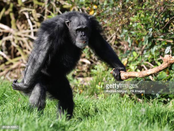 Chippy an older chimp at Blair Drummond Safari Park Stirling ahead of National Grandparents Day on October 1st as the park runs a Grandparents week